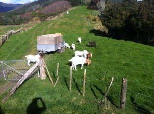 The goats arrive at their new home on the farm and meet the current residents